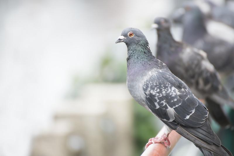 手すりにとまる鳩